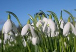 Snowdrops with blue sky